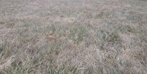 przed wertykulacją trawnika